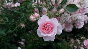 lush pink rose on a large flowering bush