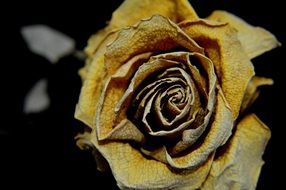 yellow dry rose on a dark background