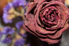 photo of dried burgundy rose