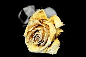 dry yellow rose on a dark background