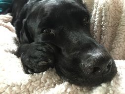 photo of the muzzle of a black labrador on a plaid