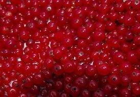 harvested red currant berries