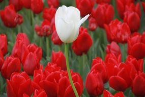 beautiful white tulip among red ones