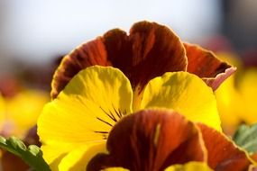 pansy flowers close-up