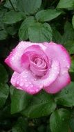 Pink Rose with Water Drops at green leaves