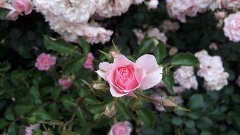delicate pastel rose on a lush bush