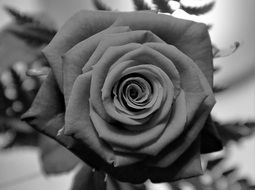 Rose, Black And White, close up