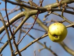 apple on the tree in late autumn