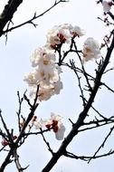 white flowering of a plum tree