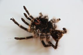 tarantula is a big spider