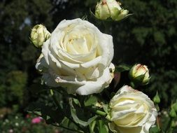Garden White Rose Flower