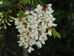 white flowers on a tree branch close-up