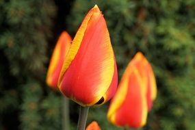 closed yellow tulip buds