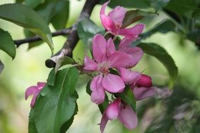 dark pink flowers on a tree branch