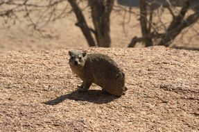 Hyrax Nager Rodent