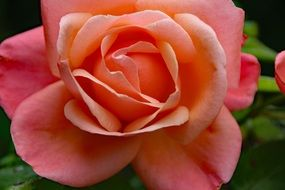 pink lush rose close up