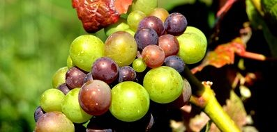 unripe Grapes close up outdoor