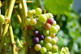 healthy bright grapes