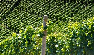 vineyards with green leaves