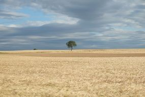 lonely tree on a corn field