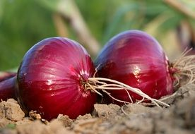 two red onions together