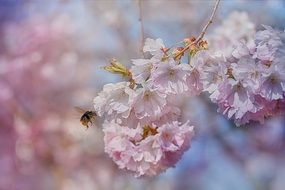 honey bee on a flowering fruit tree