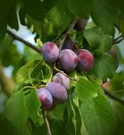 plums on the fruit tree