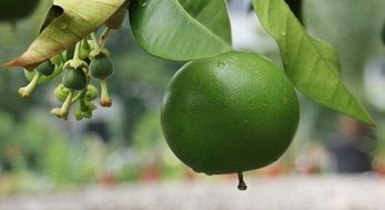 green grapefruit on a branch