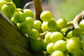 Henkel Grapes