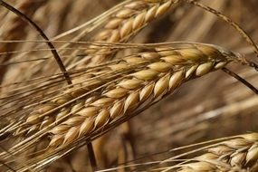 barley ripe ears close up