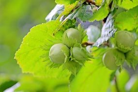 juicy and appetizing Hazelnuts Common