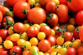 appetizing Tomatoes Harvest