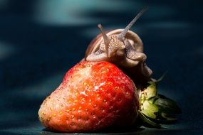 big snail eating strawberry