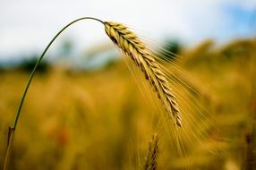 spike of wheat against the background of a yellow field