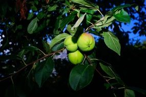 apple tree at night