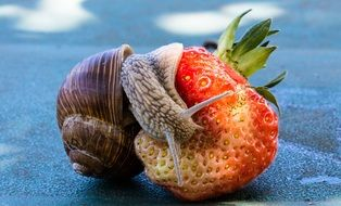 garden snail on the strawberry