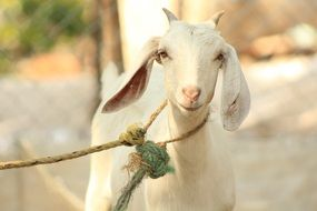 white goat on a leash