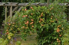 Apple tree with ripe apples in the garden