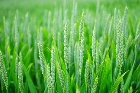 green wheat spikes halm