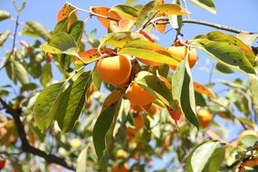 ripe persimmons on a tree on a sunny day
