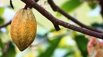 Cocoa Cultivation Fruit