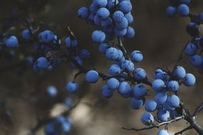 ripe blueberries on a branch close-up