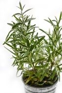 rosemary herb ingredient