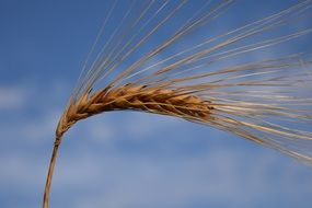Barley Ear at blue sky, macro
