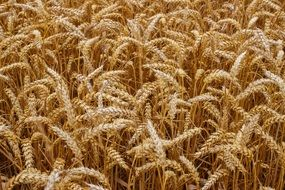 ripe wheat field close up