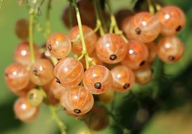 A banch of currant