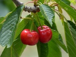 sweet cherry grows on a branch