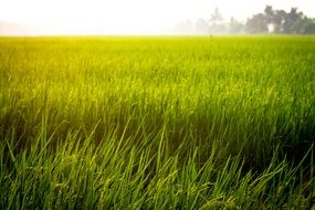Rice grows in Field, thailand