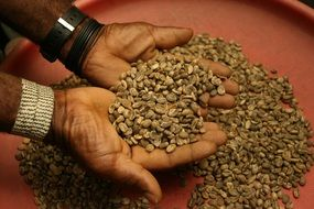 raw coffee grains in hands