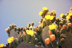 prickly pear is a genus of cacti